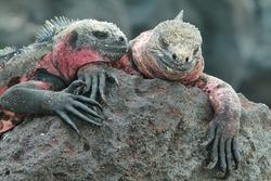 Galapagos Marine Iguanas (Amblyrhynchus cristatus) resting on rocks in La Espanola island, Galapagos, Ecuador