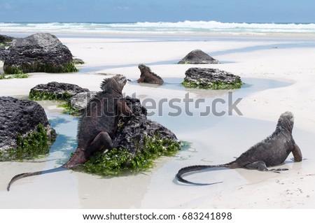 galapagos marine iguanas on a...