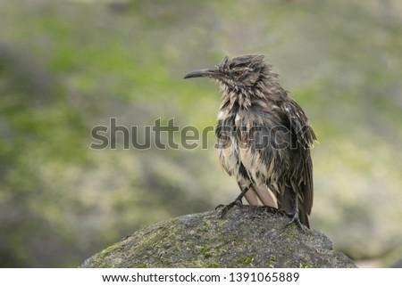 Galapagos Mockingbird (Mimus parvulus) - After the Bath