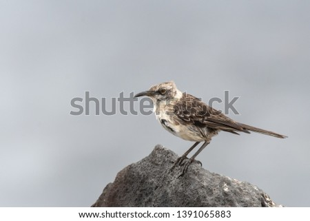 Galapagos Mockingbird (Mimus parvulus) -  Resting Up