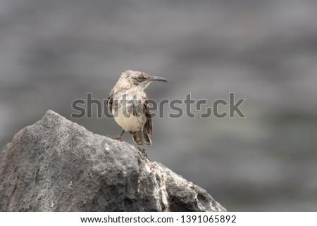 Galapagos Mockingbird (Mimus parvulus) - Rocky Lookout