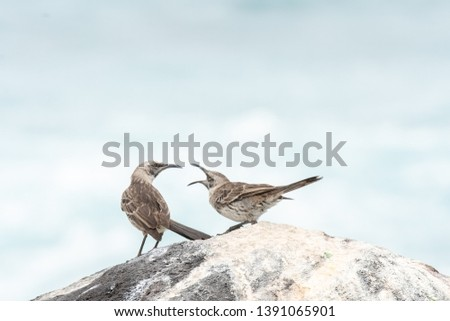Galapagos Mockingbird (Mimus parvulus) - Wheres My Lunch