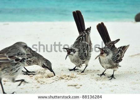 Galapagos Mockingbirds.