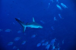 Galapagos or requiem shark, swim in the school of small fishes deep underwater