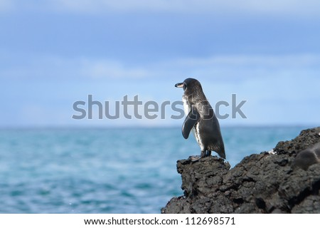Galapagos Penguin (Spheniscus mendiculus) looking at the ocean