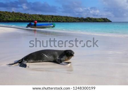 Galapagos sea lion on the beach at Gardner Bay, Espanola Island, Galapagos National park, Ecuador. These sea lions exclusively breed in the Galapagos.