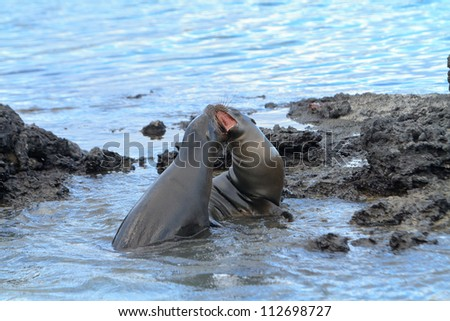 Galapagos sea lion playing or fighting at the beach