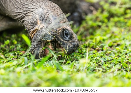 Galapagos Tortoise eating grass on Santa Cruz Island. Galapagos Giant Tortoises are iconic to and only found Galapagos. Animals, nature and wildlife nature from Galapagos Islands.