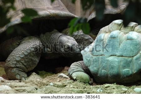 Galapagos tortoise (lat. Geochelone nigra) vs. a Aldabra giant tortoise (lat. Dipsochelys dussumieri) at the Vienna Zoo (Schoenbrunn / Austria)