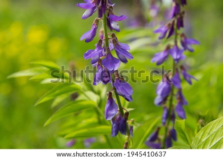 Galega officinalis (goat's-rue or french lilac) in bloom. Beautiful violet flowers in a summer field. Photo stock ©