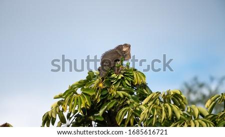 Gallina o iguana de Palo, no es natural de Puerto Rico, pero se ha establecido aquí ya que han llegado a través de personas que viajan, hoy día es una plaga en nuestra isla y algunos la cazan para ali Foto stock ©