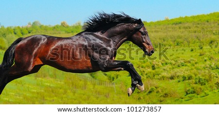 Galloping bay horse in field