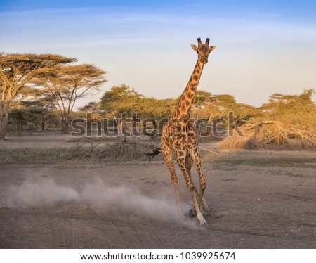 Galloping Giraffe - A big, beautiful, elegant giraffe that was frightened by a threat gallops past, kicking up dust in the early sunrise light. Ndutu, Ngorongoro Conservation Area, Tanzania, Africa.