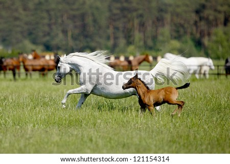 galloping horses in the pasture