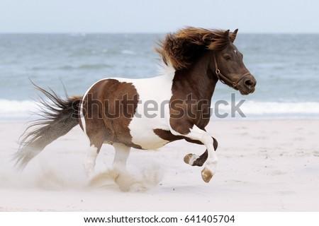 galloping shetland pony at the...