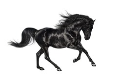 Galloping shiny black Andalusian stallion isolated on white background.