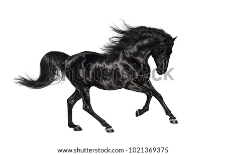 Galloping shiny black Andalusian stallion isolated on white background.