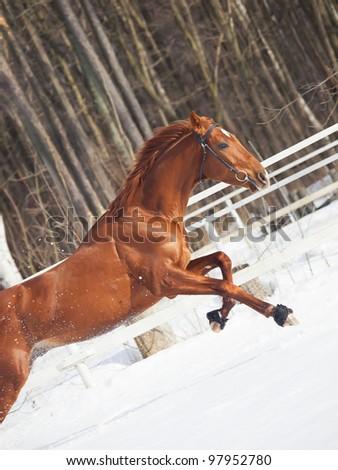 galloping sorrel horse in snow paddock