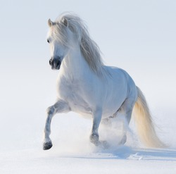 Galloping white Welsh pony on snow field.