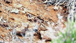 Gallotia galloti Western Canaries lizard hiding in Teide National Park - Tenerife