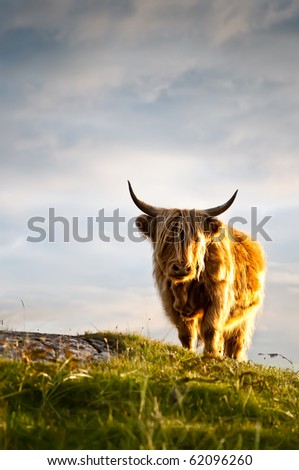 Galloway cattle standing in sunset