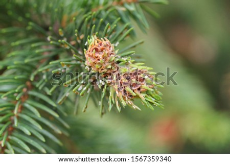Galls on spruce shoots caused by green spruce gall aphid (Sacchiphantes viridis synonyms: Chermes viridis, Sacchiphantes abietis viridis) on the needles of spruce. To the common pest of spruces.