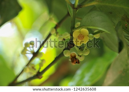 Green Mangosteen on tree Images and Stock Photos - Page: 17