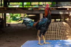 Game cock, fighting cock Thai rooster, Thai fighting cock  chicken standing outdoor.