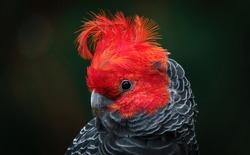 Gang-gang Cockatoo - adult male portrait