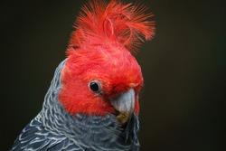 Gang-gang Cockatoo - Australian parrot Callocephalon fimbriatum