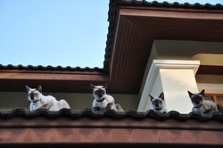 Gang of Siamese cats on the roof in the morning.