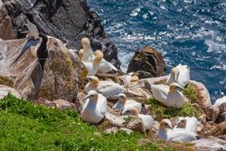 Gannet bird colony (Morus bassanus) nesting on rocks at ocean edge, five gannets sitting on nests. Also two razorbill seabirds. Saltee Islands, Ireland, along coast with North Atlantic ocean