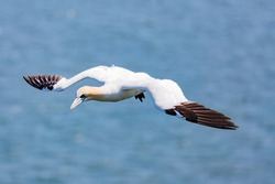 Gannet bird with spread wings flying over a blue sea. Gannets are seabirds comprising the genus Morus, in the family Sulidae.