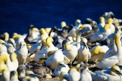 Gannet birds in the Bonaventure Island, near Perce, at the tip of Gaspe Peninsula, Quebec, Canada