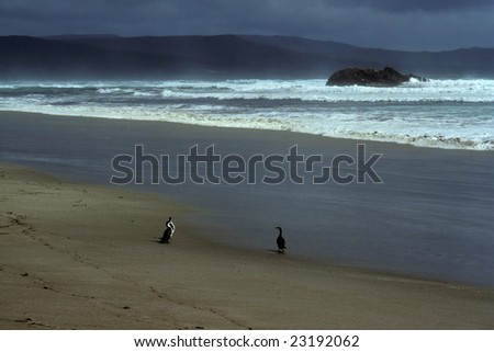 gannets at Mason Bay, Stewart Island, New Zealand