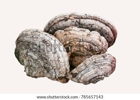 Ganoderma lucidum image #785657143