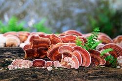 Ganoderma Lucidum Mushroom or Ling Zhi Mushroom on timber