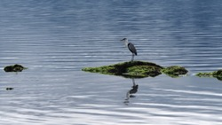 Garça-moura is a pelecaniform bird in the family Ardeidae. Bird on top of a rock, stone with slime, big bird, beautiful, landscape, background, bird, The largest of herons in Brazil, banks of rivers a