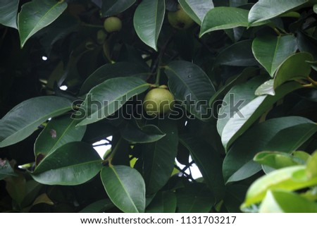 Garcinia mangostanaPerennials are 10-12 meters tall, all with yellow rubber. The leaves are red, juicy and juicy. The full color is magenta. Green and purple fruit are released. #1131703217