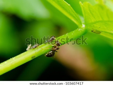 garden ant, leaf, aphids - stock photo