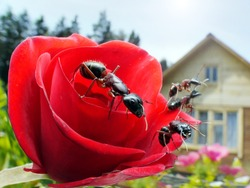 garden ants on rose and summerhouse, wideangle macro