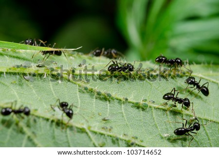 garden ants tend to their aphids