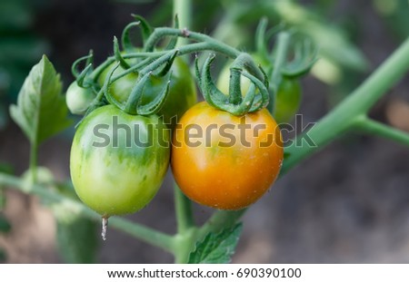 Garden bed tomato branch still life photography. Growing organic vegetables branch close-up.  Shallow depth of field, selective focus  #690390100