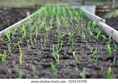 Garden beds with seedlings and leafy greens