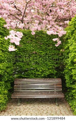 Garden bench under arch created by blossoming kwanzan cherry in Brussels, Belgium
