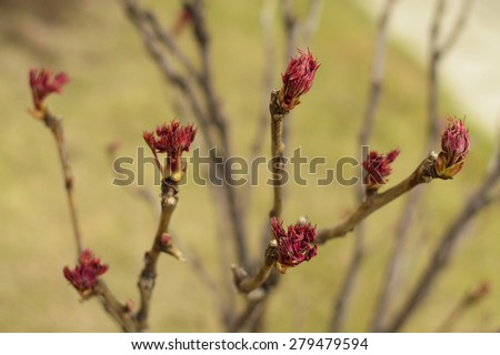 Garden, blooms of japanese tree peony. background