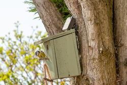 Garden Bluetit bird seen building her next on a wooden bird box mounted on a garden tree in spring.