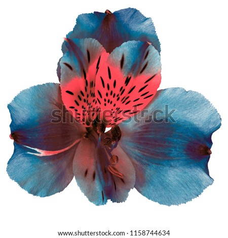 Garden cerulean pink blue brown orchid flower isolated on white background. Close-up. Macro. Element of design. #1158744634