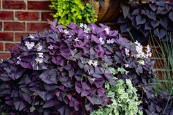 Garden containers of Dark purple shamrocks with tiny pink flowers planted with giant green caladium, in vintage pottery, outdoors against a brick walled patio.