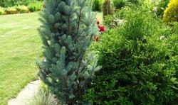 Garden corner, foreground Picea pungens